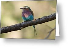 A Lilac-breasted Roller Coracias Greeting Card by Joel Sartore