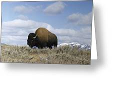 A Magnificent American Bison Bull Bison Greeting Card by Dr. Maurice G. Hornocker