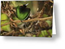 A Magnificent Bird Of Paradise Male Greeting Card by Tim Laman