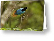 A Male Blue Bird Of Paradise Perched Greeting Card by Tim Laman
