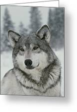 A Portrait Of A Beautiful Gray Wolf Greeting Card by Jim And Jamie Dutcher