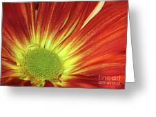 A Red Daisy Greeting Card by Sabrina L Ryan