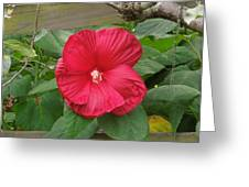 A Red Hibiscus Greeting Card by Chad and Stacey Hall