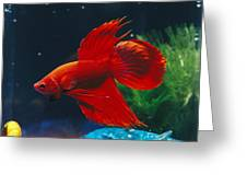 A Red Siamese Fighting Fish In An Greeting Card by Jason Edwards