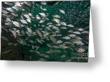 A School Of Tomtate And Glass Minnows Greeting Card by Michael Wood