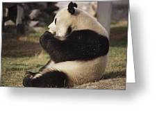 A Side View Of A Panda Bear Sitting Greeting Card by Todd Gipstein