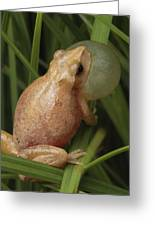 A Spring Peeper Calls For A Mate Greeting Card by George Grall