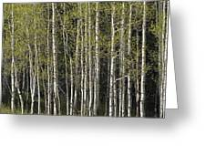 A Stand Of Aspen Trees At Wolf Creek Greeting Card by Rich Reid