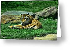 A Tiger's Gaze Greeting Card by Paul Ward