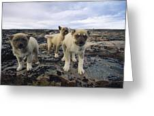 A Trio Of Growling Husky Puppies Greeting Card by Paul Nicklen
