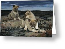 A Trio Of Playful Husky Puppies Greeting Card by Paul Nicklen