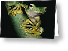 A Wallaces Flying Frog, Rhacophorus Greeting Card by Tim Laman