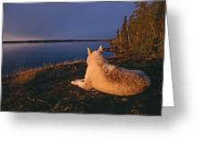 A White Husky Gazes At The Water Greeting Card by Paul Nicklen