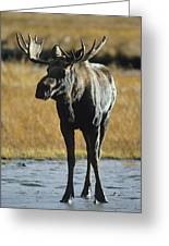 A Young Bull Moose Greeting Card by George F. Herben