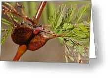 Acacia Thorns With Pseudomyrmex Ants Greeting Card by Raul Gonzalez Perez