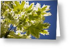 Acer Platanoides 'drummondii' Greeting Card by Dr Keith Wheeler