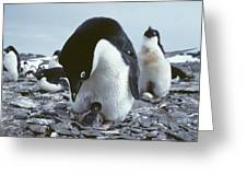 Adelie Penguin With Chick Greeting Card by Doug Allan
