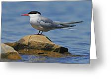 Adult Common Tern Greeting Card by Tony Beck
