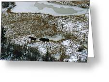 Aerial Of A Male And Female Moose Greeting Card by Norbert Rosing