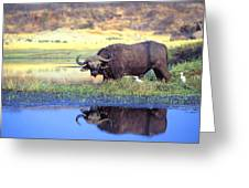African Cape Buffalo, Photographed At Greeting Card by John Pitcher