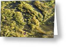 Algae Bloom In A Pond Greeting Card by Photo Researchers, Inc.