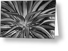 Aloe Black And White Greeting Card by Rebecca Margraf