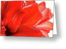 Amaryllis Fade Red Amaryllis Flower Subtly Fading Into A White Background Greeting Card by Andy Smy