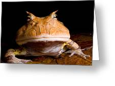 Amazonian Horned Frog Greeting Card by Dant� Fenolio