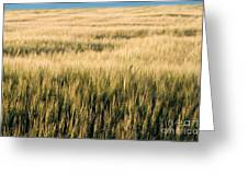 Amber Waves Of Grain Greeting Card by Cindy Singleton