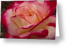 American Beauty Rose Greeting Card by Darleen Stry