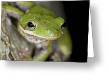 American Green Treefrog Greeting Card by Clay Coleman