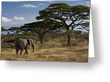 An African Elephant Walks Among Acacia Greeting Card by Ralph Lee Hopkins