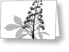 An X-ray Of A Chestnut Tree Flower Greeting Card by Ted Kinsman