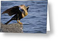 Anhinga Looking Back Greeting Card by Roger Wedegis
