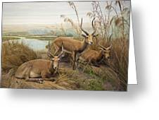 Antelope In The Grass Near The River Greeting Card by Laura Ciapponi