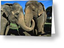Asian Elephant Elephas Maximus Pair Greeting Card by Zssd