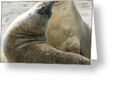 Australian Sea Lions Greeting Card by Tony Camacho