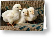 Baby Chicks Greeting Card by Sandy Keeton