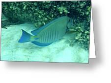 Bahamas Blue Tang Greeting Card by Kimberly Perry