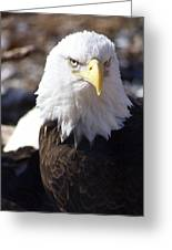 Bald Eagle 1 Greeting Card by Marty Koch