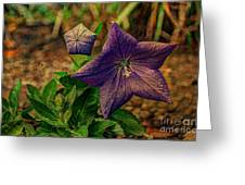 Balloon Flower - Antiqued Greeting Card by Michael Garyet