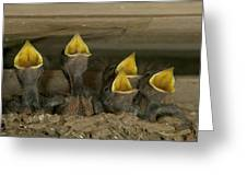 Barn Swallow Hirundo Rustica Chicks Greeting Card by Cyril Ruoso