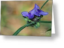 Beautiful Spiderwort Greeting Card by Sabrina L Ryan