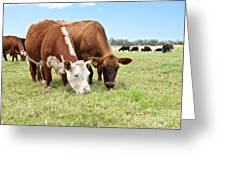Beef Cattle Grazing In Pasture Greeting Card by Inga Spence and Photo Researchers