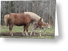 Belgian Foal First Steps Greeting Card by Laurie With