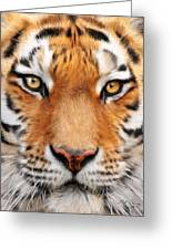 Bengal Tiger Greeting Card by Bill Fleming