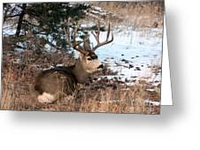 Big Buck At Rest Greeting Card by Sara  Mayer