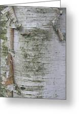 Birch Tree Greeting Card by Kathy Peltomaa Lewis