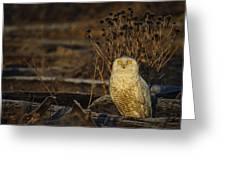 Birds Of Bc - No.12 - Snowy Owl - Bubo Scandiacus Greeting Card by Paul W Sharpe Aka Wizard of Wonders
