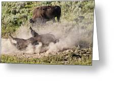 Bison Dust Bath Greeting Card by Paul Cannon